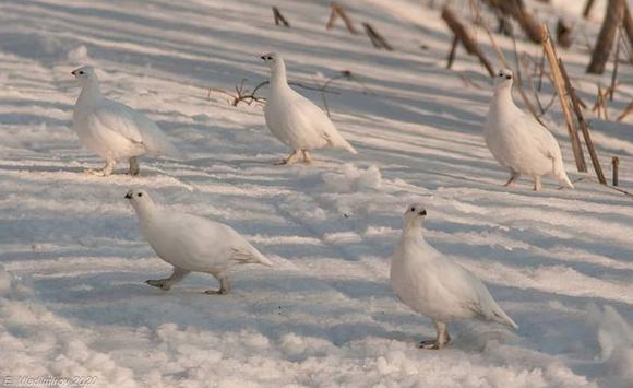 Белые куропатки «переоделись». Фото instagram.com/vladimirov_evge