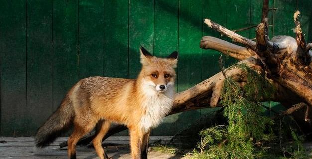 Рыжий лис Василий.