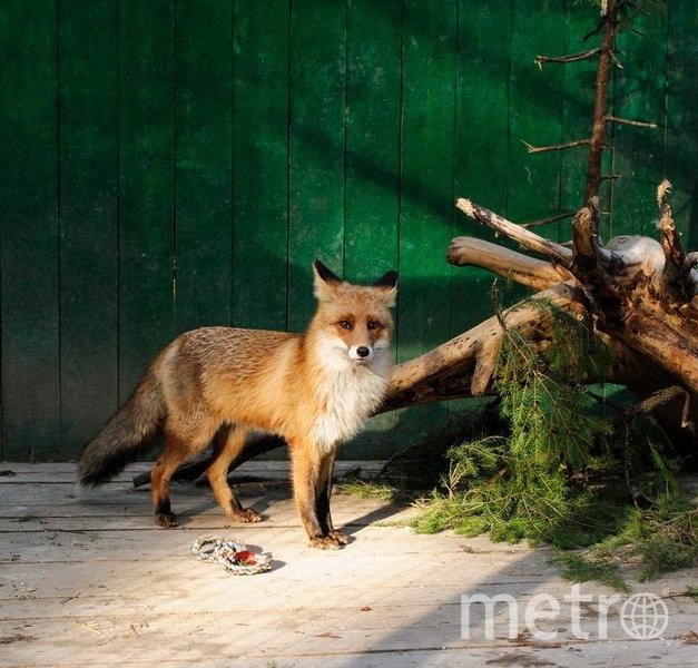 Рыжий лис Василий. Фото Зоопарк на Лампушке. https://vk.com/zoolamp