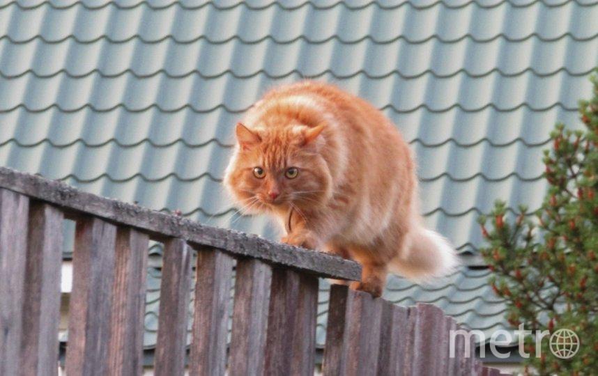 "Фото кота, который охотится на кого-то на заборе соседа. Я назвала фото ""Вижу цель, не вижу препятствий!"". Фото Вера Афонина, ""Metro"""