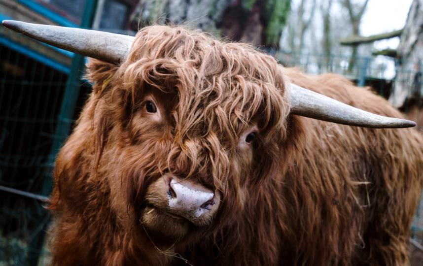 """Шотландский высокогорный бык Рыжик. Фото Алена Бобрович, """"Metro"""""""