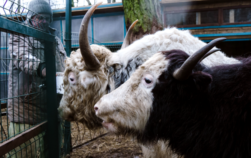 "Голштинские коровы. Фото Алена Бобрович, ""Metro"""