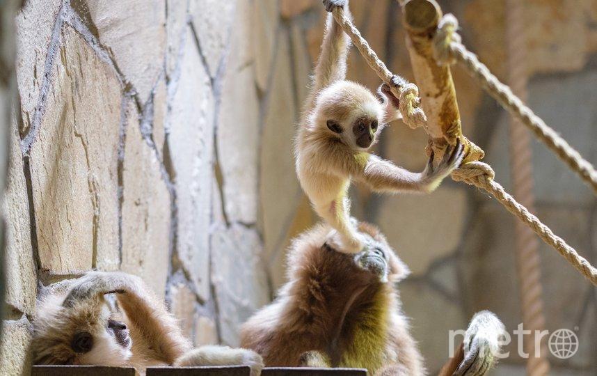 """Самка гиббона Габина со своим малышом. Мать ни на секунду не оставляет своего детёныша одного. Фото Алена Бобрович, """"Metro"""""""
