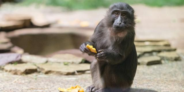 Самка-подросток чёрной макаки во время обеда.