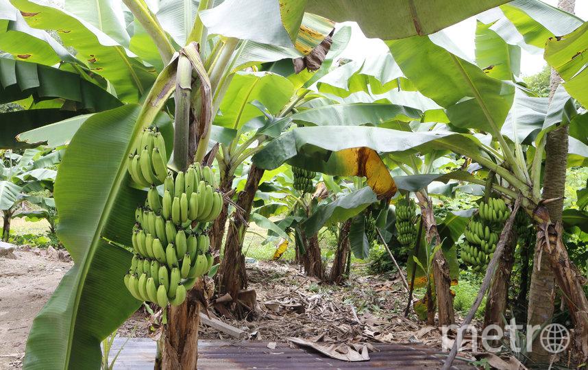 """По мнению экспертов, лишь вопрос времени, когда закончатся свободные земли под банановые плантации. Фото istock, """"Metro"""""""