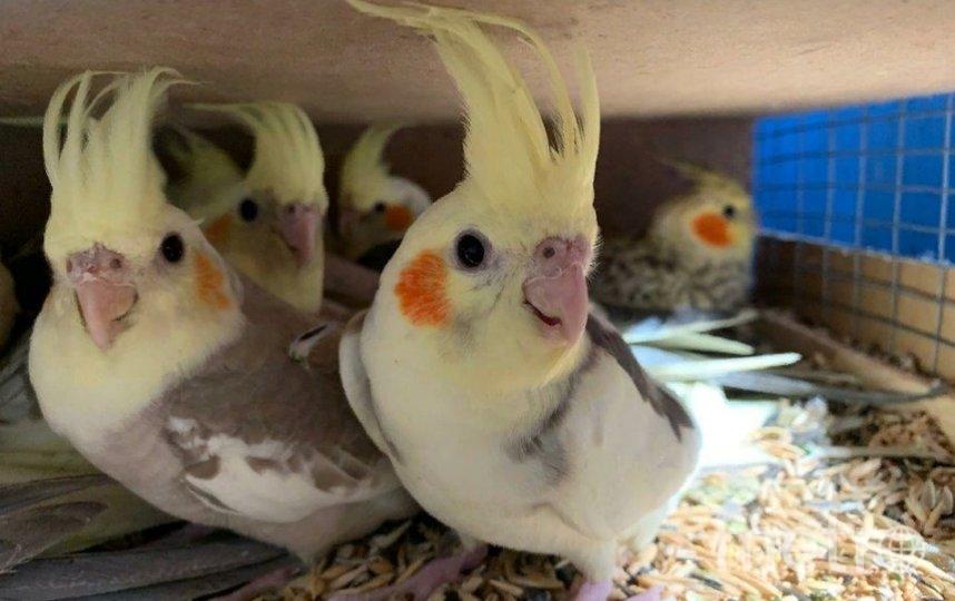 С1 сентября по 30 ноября в Пулково осмотрели1032 попугая. Фото пресс-служба Управления Россельхознадзора по Санкт-Петербургу, Ленинградской и Псковской областям.