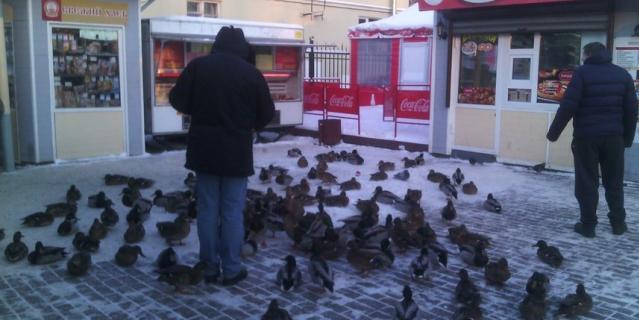 Зимой утки сами приходят за хлебом на рынок.
