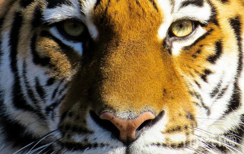 Тигр напал на дрессировщика. Фото Pixabay.