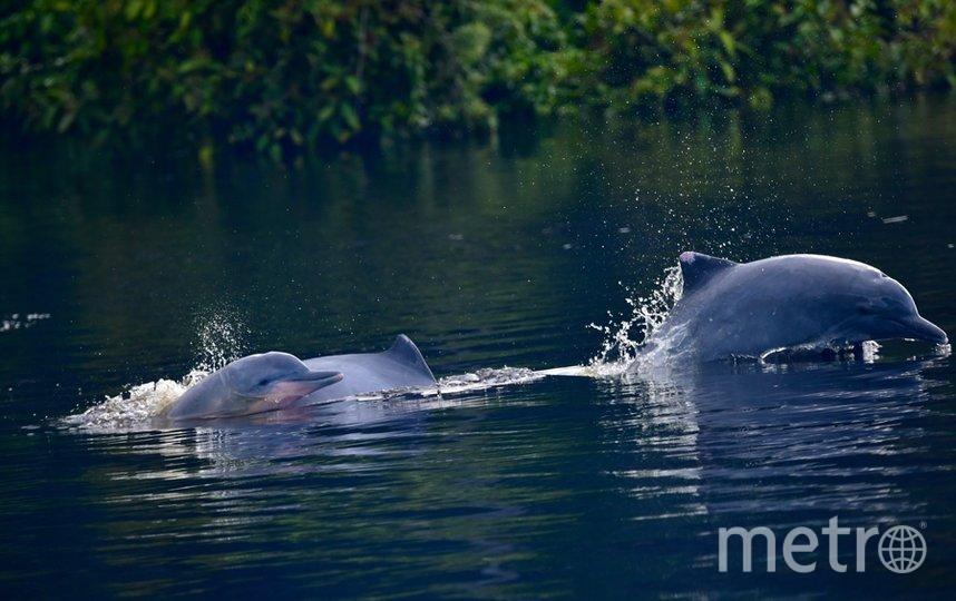 """Дельфинов «тукуши» в Амазонке почти не осталось. Фото """"Metro"""""""