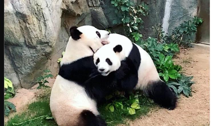 Панды. Фото Getty
