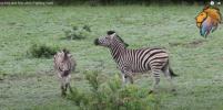 Внимание самки не поделили зебры-самцы - видео