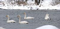 Ленинградские лебеди отказались от полетов в Европу: в чем причина
