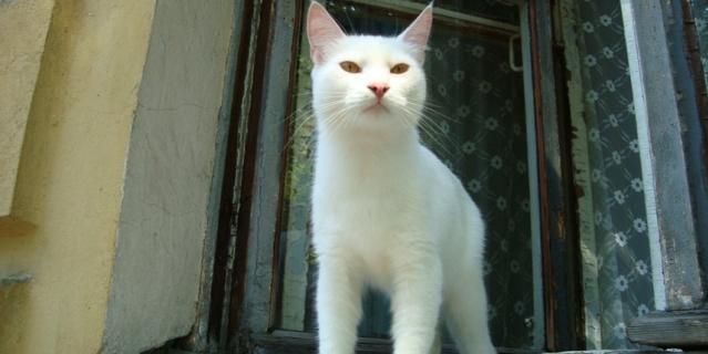 Белый кот , как царь , смотрел на нас из окна квартиры в г. Кронштадте, Ленинградской обл.