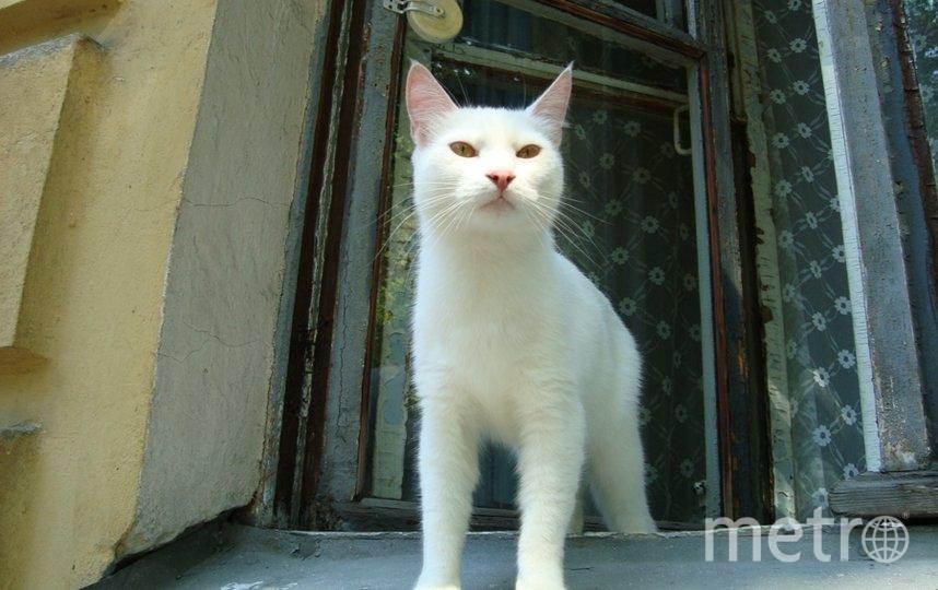 """Белый кот , как царь , смотрел на нас из окна квартиры в г. Кронштадте, Ленинградской обл. Фото Марина., """"Metro"""""""
