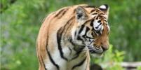 В шведском зоопарке усыпили тигрицу Настасью, заболевшую коронавирусом