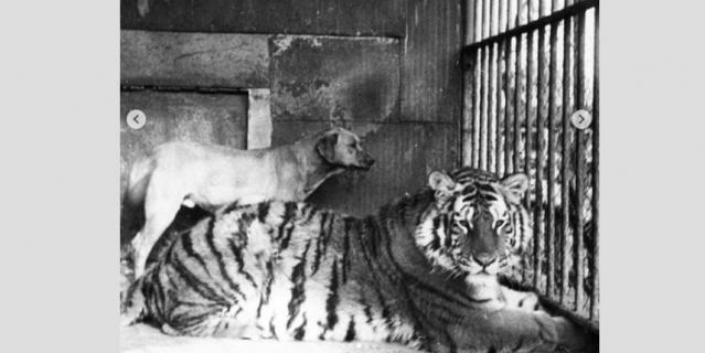 Тигр Котик.