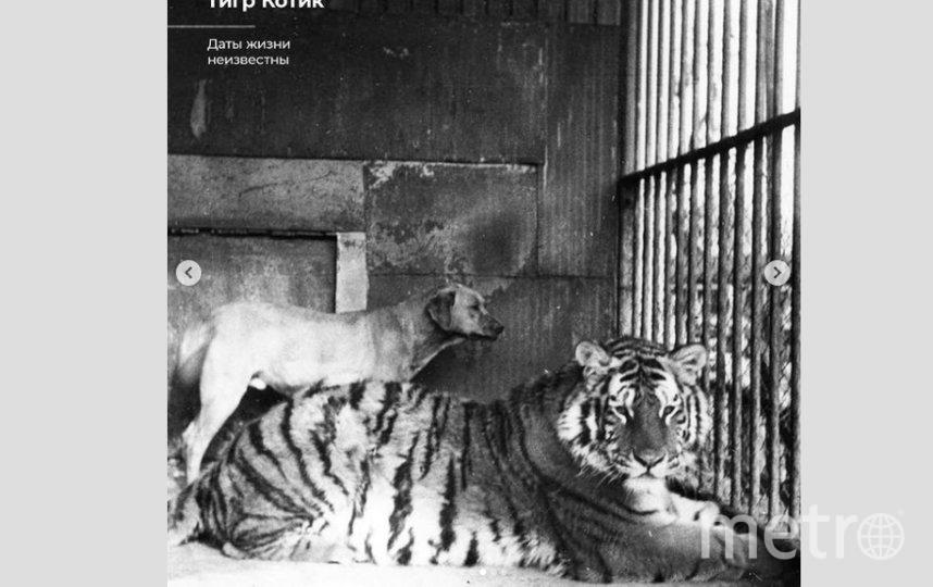 Тигр Котик. Фото Скриншот Instagram: @spbzoopark