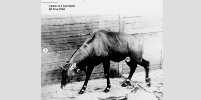 Антилопа нильгау Маяк.
