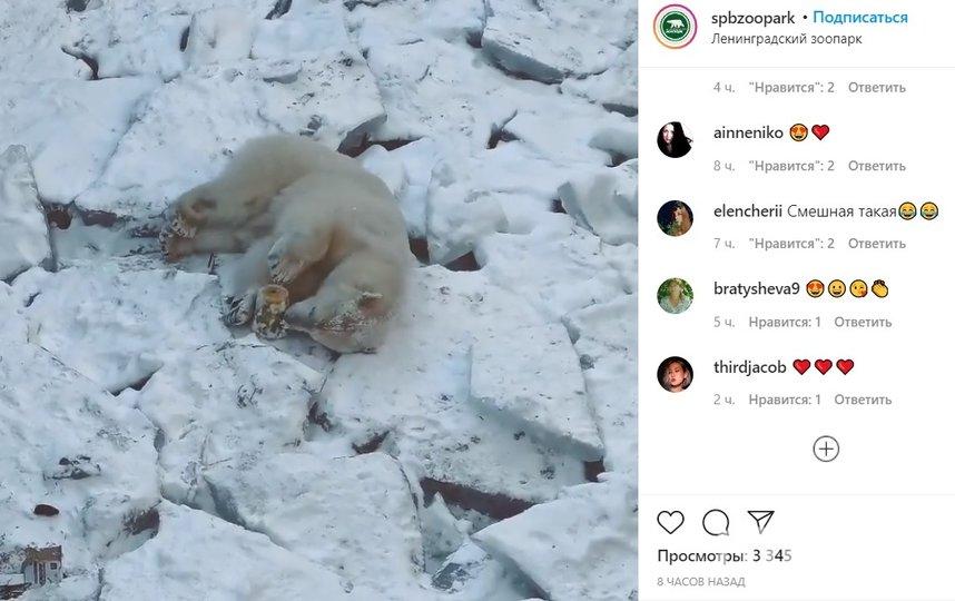 Медведицалениво перебирает игрушку-бочонок, лежа на льду своего замерзшего бассейна. Фото instagram.com/spbzoopark/.