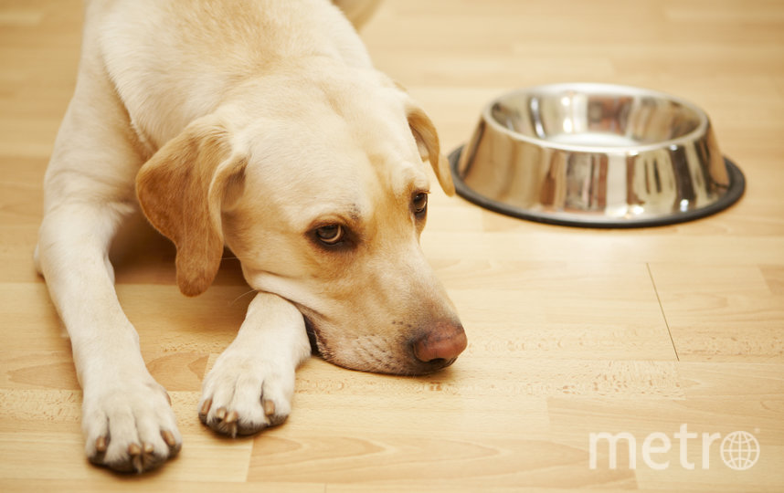 Собака может заболеть из-за неправильной еды. Фото Depositphotos