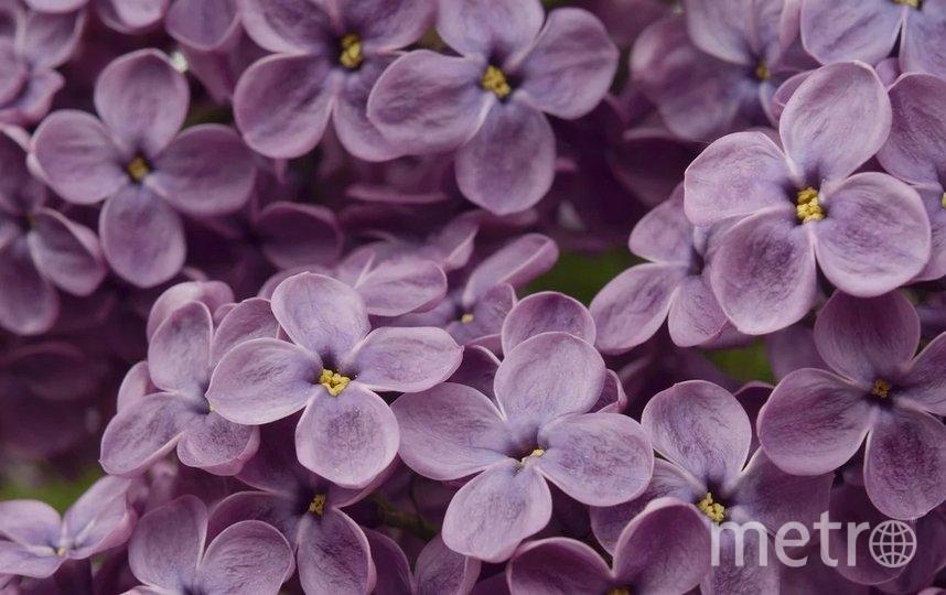 В этом году Ботанический сад покажет 38 экземпляров цветущих кустов сирени. Фото pixabay