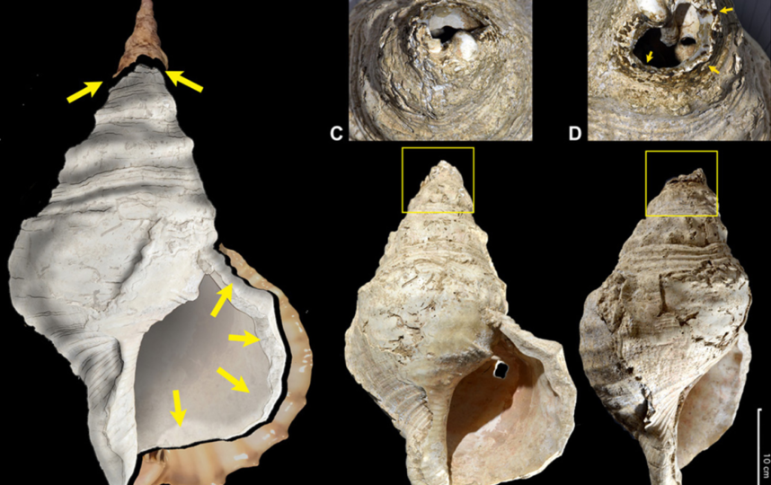 Учёные создали 3D-модель ракушки на сайте. Под буквами A, B, C, D изображены её разные проекции. Фото предоставлены героем материала