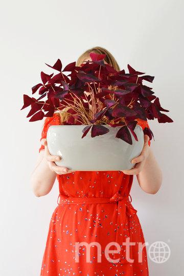 """Это – кислица, растение почти """"неубиваемое"""". Фото Depositphotos"""