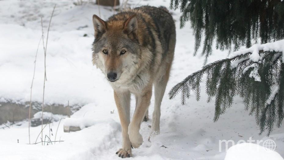 Скончалась одна из воспитанниц парка, волчица Тень. Фото vk.com/spbzoopark.