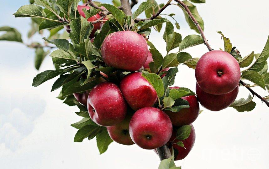 Яблоневый сад на западе Москвы возраждают общими усилиями. Фото pixabay