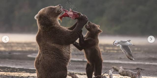 Медведица Бочка поймала нерку.