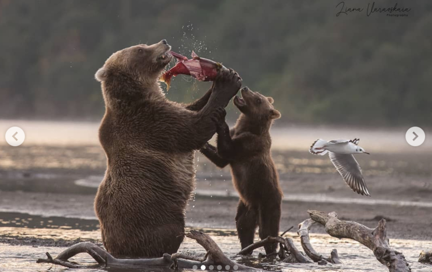 Медведица Бочка поймала нерку. Фото Instagram: @lianavaravskaya