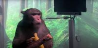 Сила мысли в действии: обезьяна, в мозг которой американцы вживили чип, впечатлила своими способностями