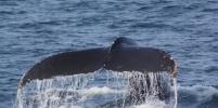 В Калифорнии на берег за девять дней выбросило четырех погибших китов
