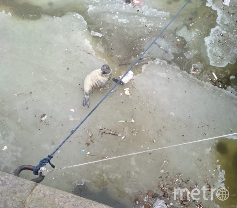 Серого тюлененка вытащили из Крюкова канала. Фото vk.com/sealrescue.