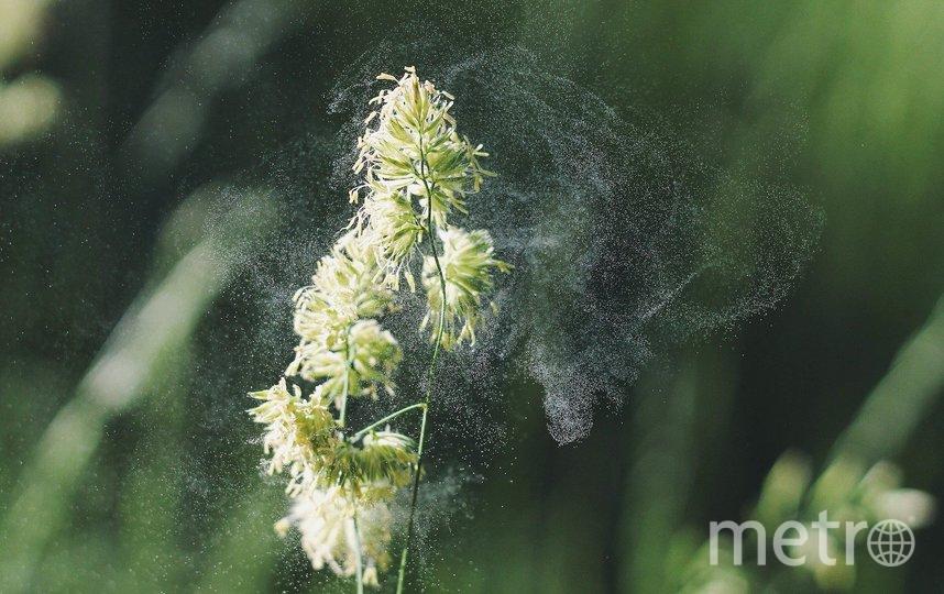 В период цветения растений пыльца разносится ветром на многие километры вокруг. Фото pixabay