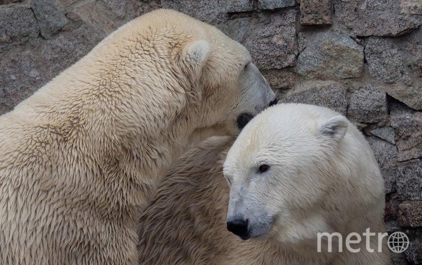 Медведи Меньшиков и Услада. Фото Алена Бобрович.