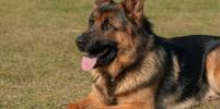 Ученые: собаки могут выявлять коронавирус с точностью до 96%