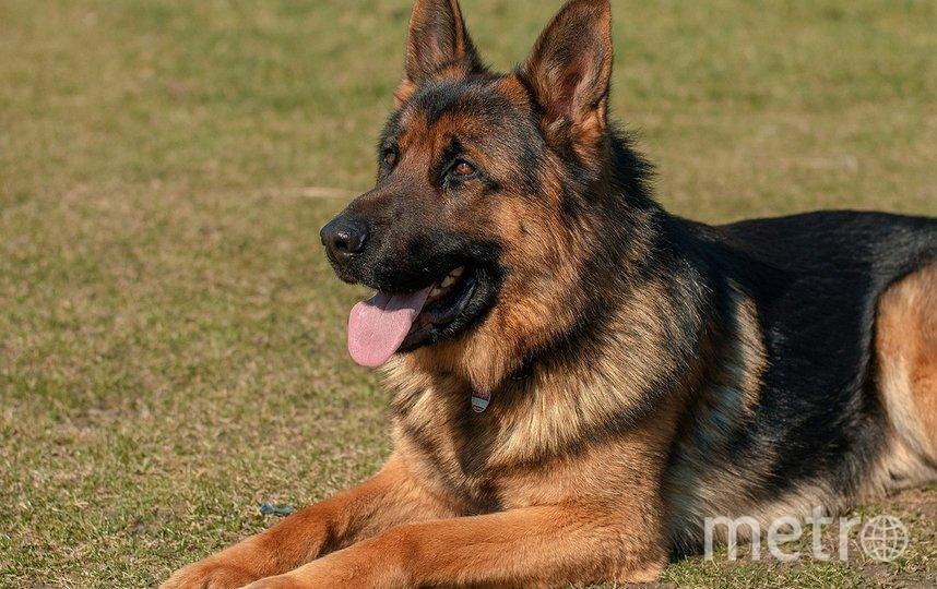 Исследование показало, насколько точно собаки выявляют коронавирус. Фото pixabay.