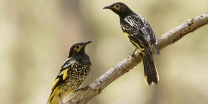 Медоуказчики забыли тексты своих серенад: что птицам делать с этой бедой