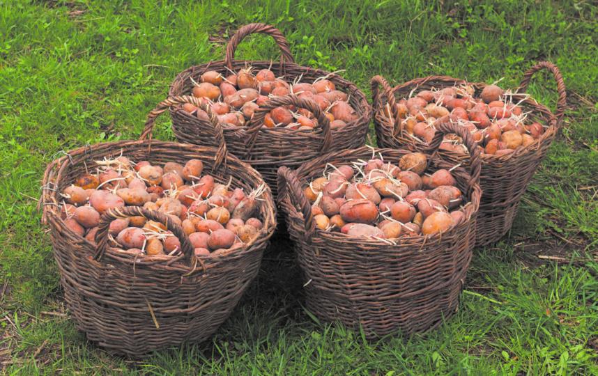 Сажают картофель в начале мая. Фото pixabay.com
