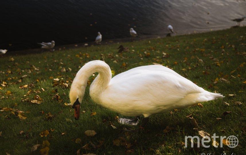 Лебедь в Карпиевом пруду. Фото https://vk.com/rusmuseum.gardens