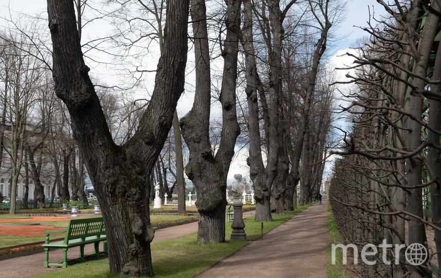 """Многим липам на этой аллее около 300 лет. Фото Святослав Акимов, """"Metro"""""""