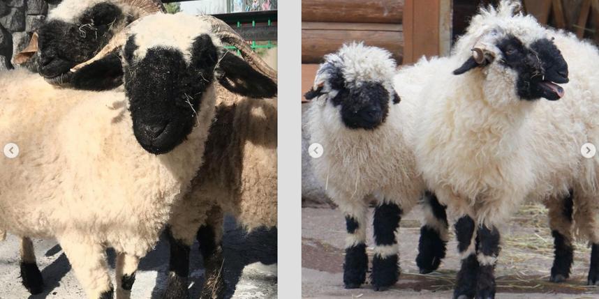Валлийских овец в Ленинградском зоопарке подготовили к летнему сезону: что сделали с животными