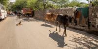 В Индии от COVID-19 спасаются с помощью навоза: что об этом говорят медики