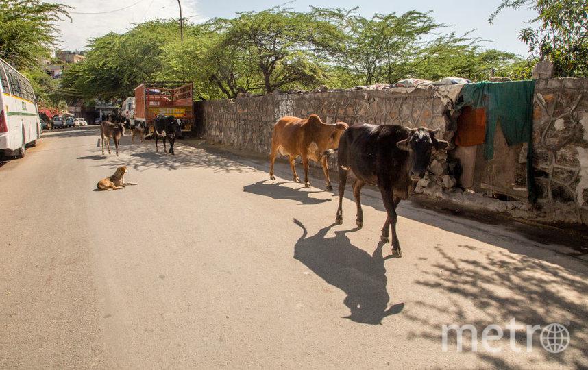 В индуизме корова является священным животным. Фото Getty