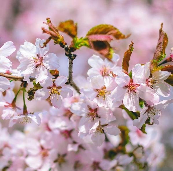 Сакура является символом Японии. Фото Скриншот Instagram @botsad_spb