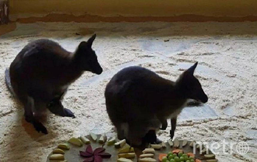 В белгородском зоопарке родились три детеныша кенгуру. Фото vk.com/belzoo31.