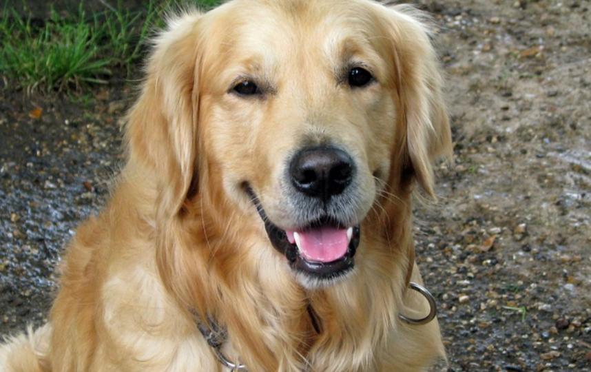 Собаки правильно определили 94 из 100 инфицированных людей. Фото Pixabay.