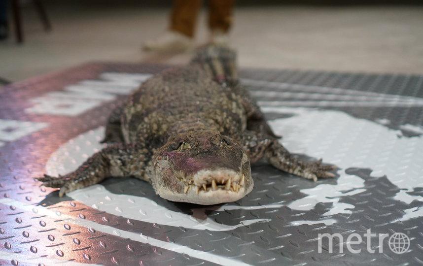 Крокодиловый кайман Паша оказался самым ленивым участником процедуры взвешивания. Фото Пресс-служба Росгосцирка