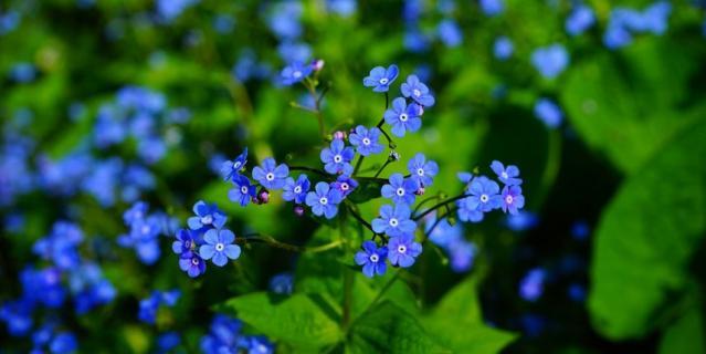 Символом Международного дня пропавших детей является изображение синей незабудки.